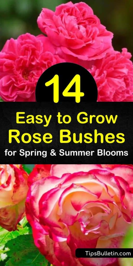 Discover how easy it is to grow low-maintenance knock out roses and climbing roses for colorful blooms throughout the entire growing season. Enjoy the fragrant scent of a disease-resistant hybrid tea or floribunda rose from spring through fall. #easytogrowroses #growingroses #easygrowingroses