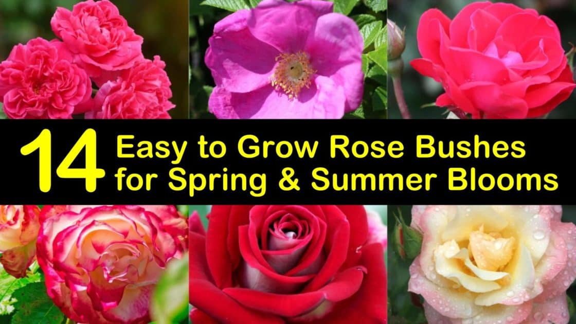 14 Easy to Grow Rose Bushes for Spring and Summer Blooms