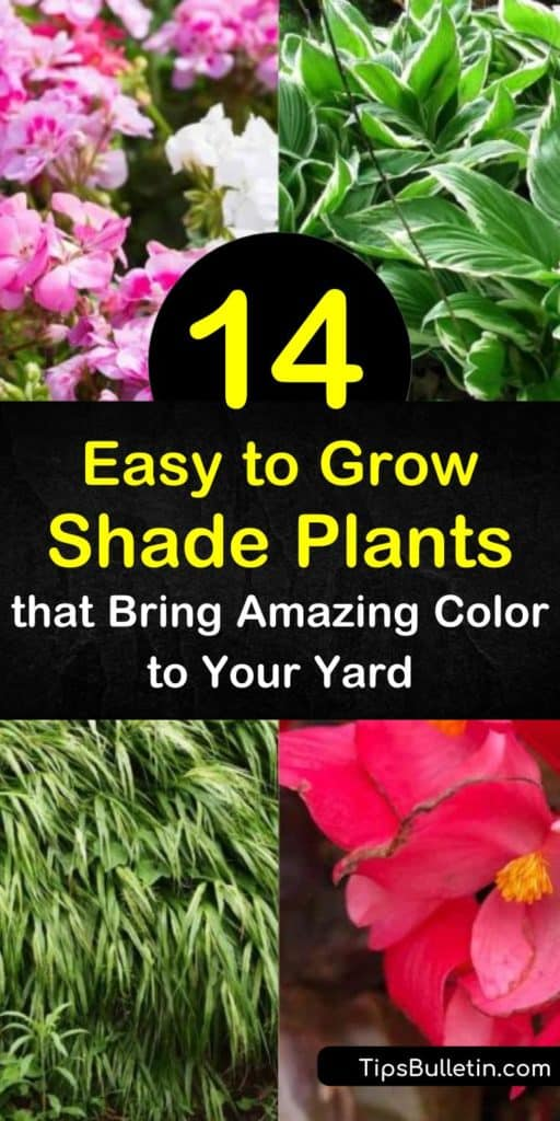 Learn how to grow a shade garden full of variegated, green leaves and colorful blooms with easy to grow shade plants. Plant Japanese forest grass or hosta in partial shade or full shade to brighten dark areas of the yard. #shadeplants #easytogrowshadeplants #shadegarden