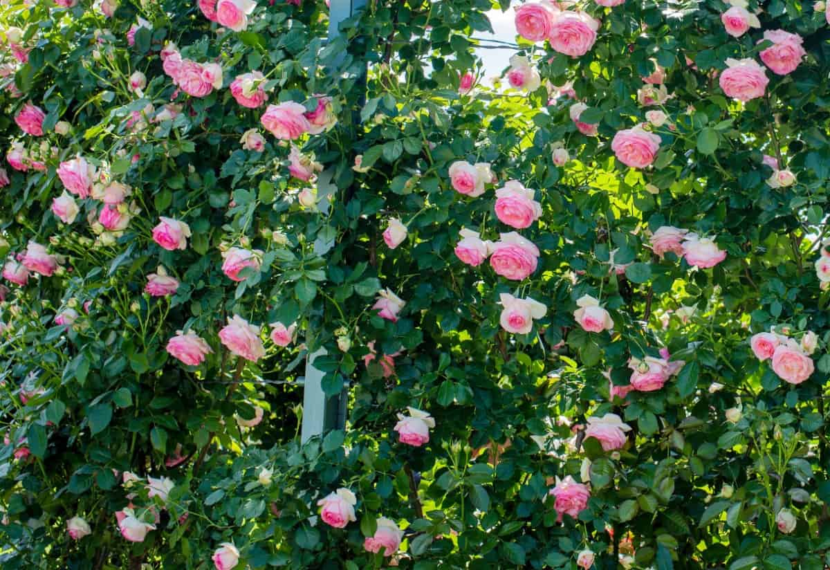 the Eden rose is an old-fashioned climber