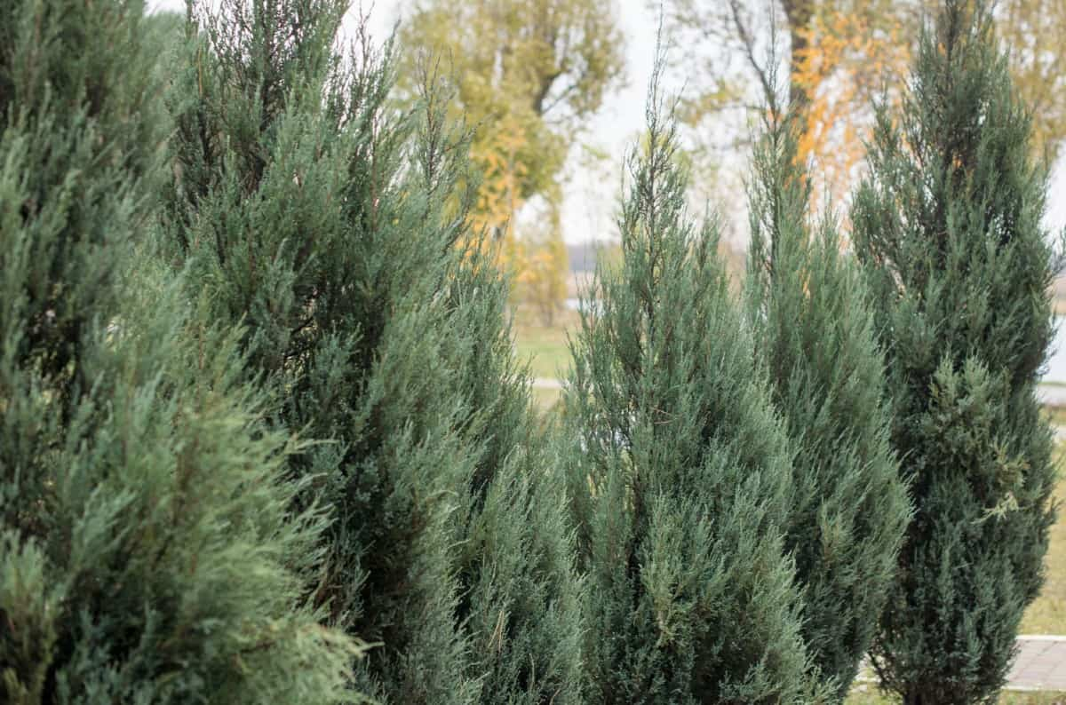 emerald arborvitae is the perfect slow-growing evergreen plant for a pot