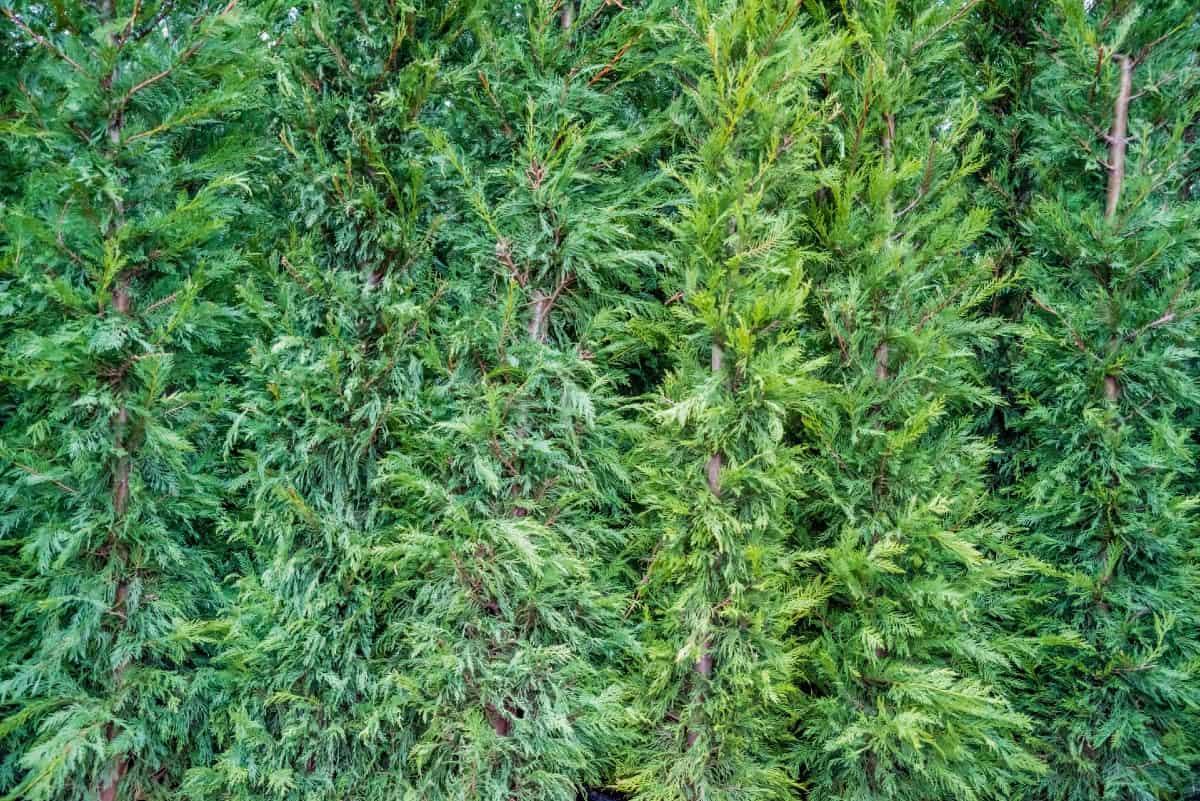 emerald green arborvitae is an amazing privacy shrub
