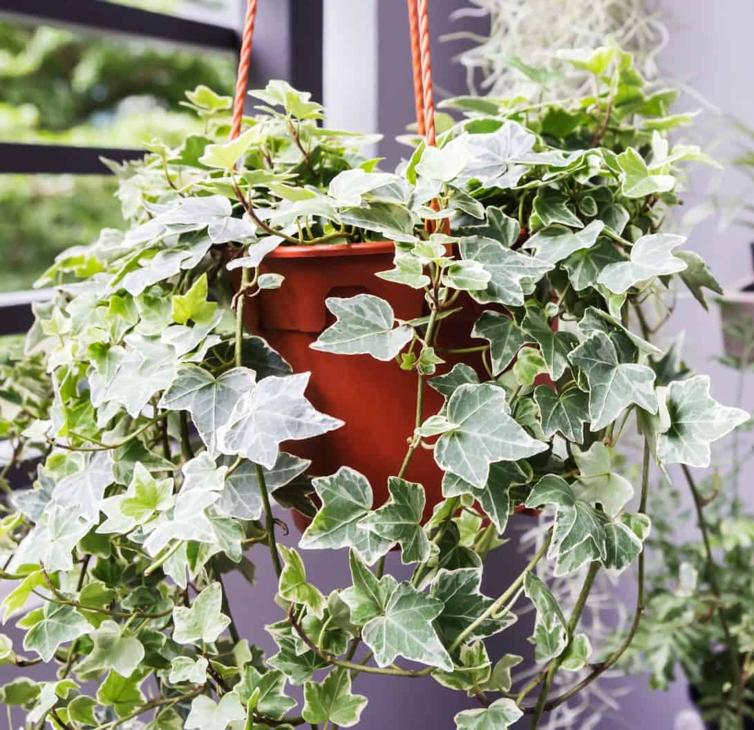 its trailing habit makes English ivy ideal for a hanging basket