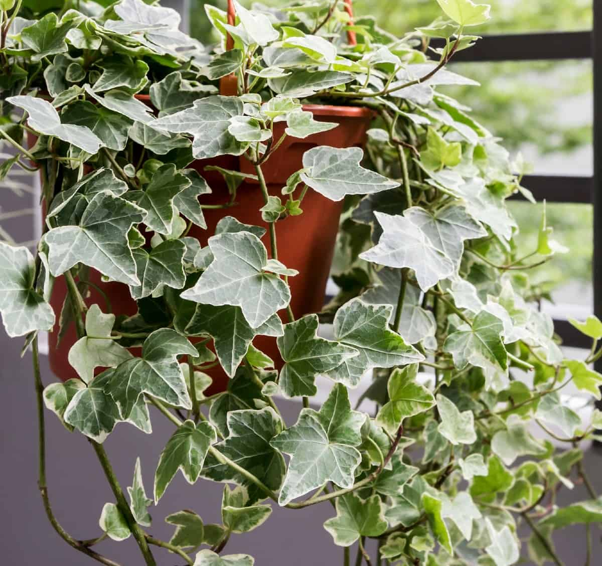 English ivy is a plant with interesting foliage