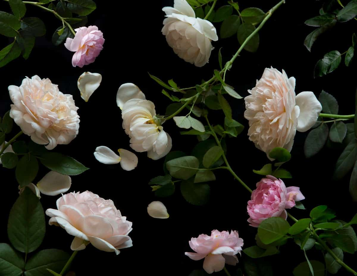 the English rose is well-known for its heavenly fragrance