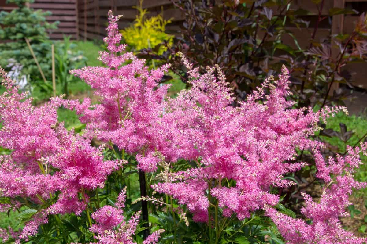 false goat's beard is also known as astilbe and loves the shade