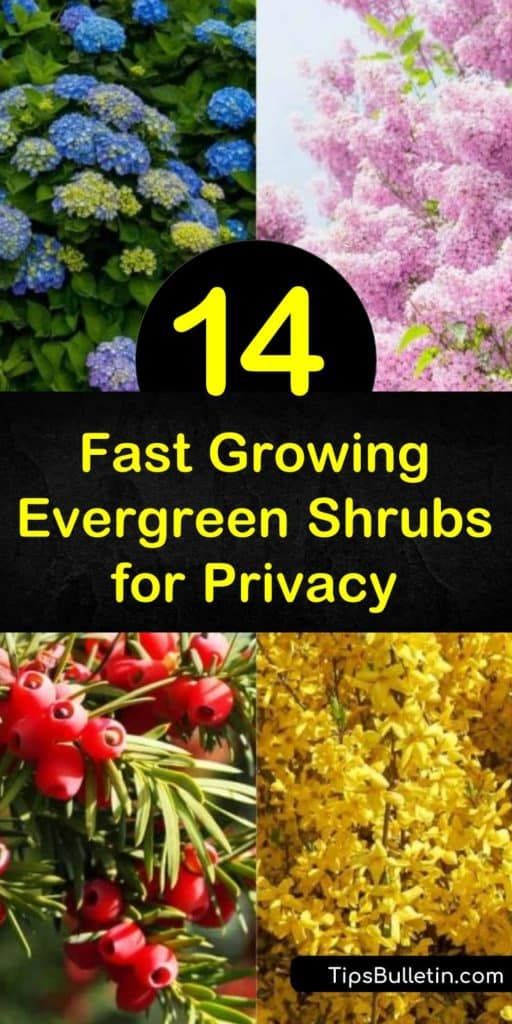 Discover how fast growing evergreen shrubs for privacy work as hedges and a windbreak. Plant beautiful Leyland Cypress or privet to create a privacy screen you'll love. Add stunning floral shrubs instead of ordinary green leaves with lilac and hydrangea. #fastgrowing #evergreen #shrubs #privacy