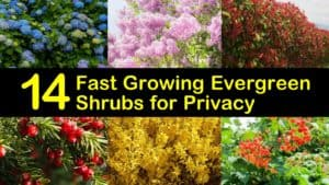Fast Growing Evergreen Shrubs for Privacy titleimg1