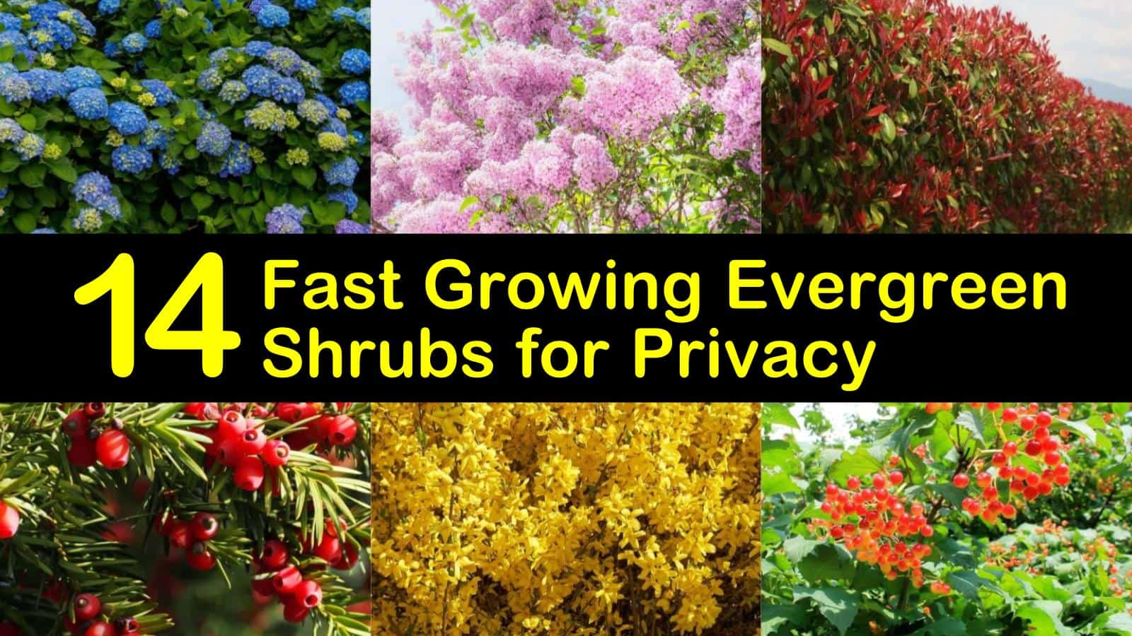 14 Fast Growing Evergreen Shrubs For Privacy