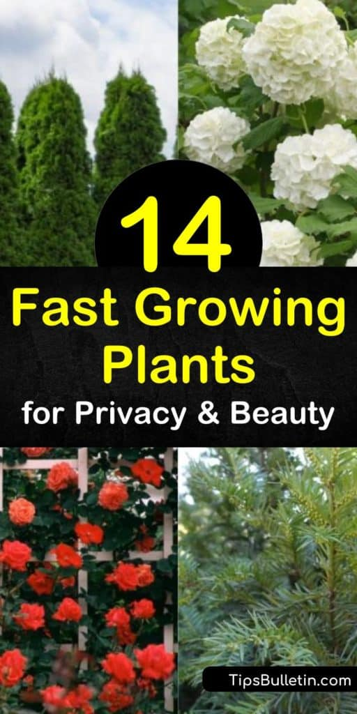 Learn how to use a low-maintenance photinia evergreen shrub as a privacy hedge. Plant a thuja or cypress evergreen tree in full sun to create a natural screen for your yard that also acts as a windbreak. #fastgrowingprivacyplants #privacyplants #livingfence