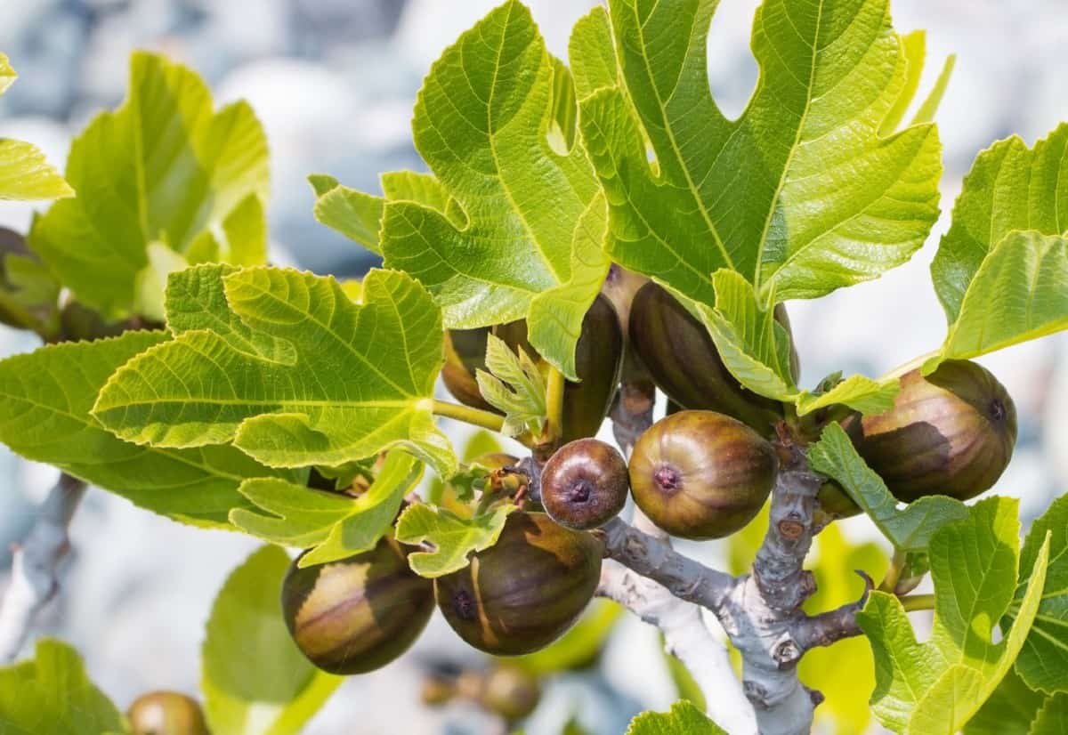 figs are self-fertile fruit trees