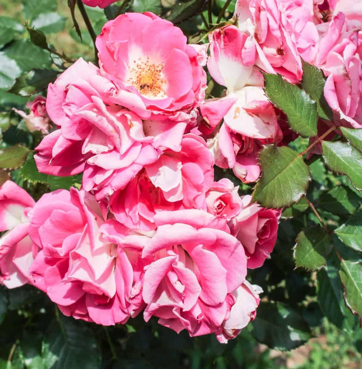 floribunda roses are hardy, fragrant, and easy to grow