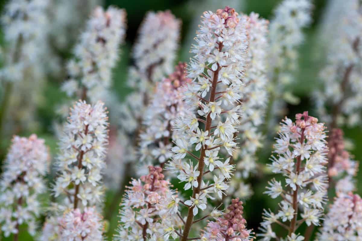 foam flower is named for its delightful blooms