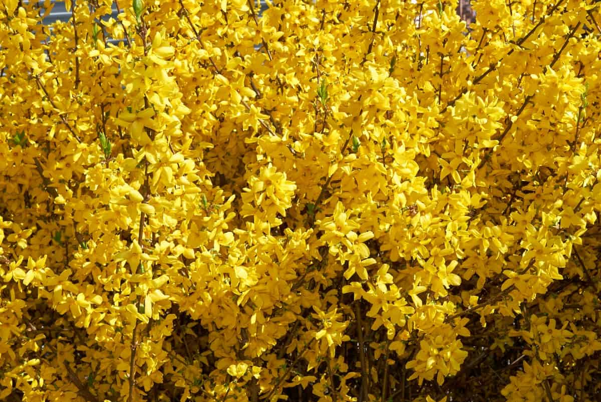 forsythia is a fast growing shrub with bright yellow flowers in early spring