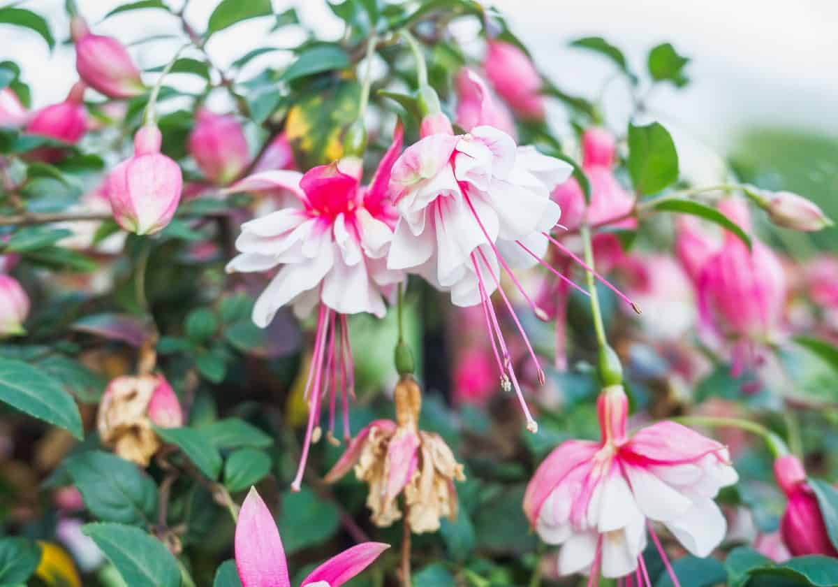 fuchsia has elegant drooping flowers ideal for a hanging basket