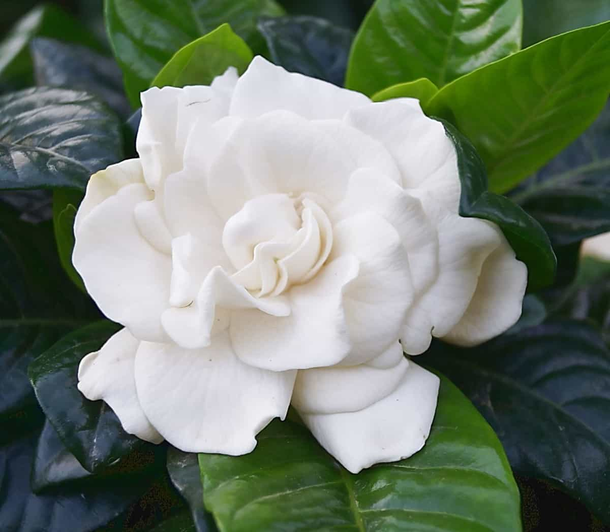 gardenias have a sweet scent that can sometimes be overwhelming to sensitive individuals