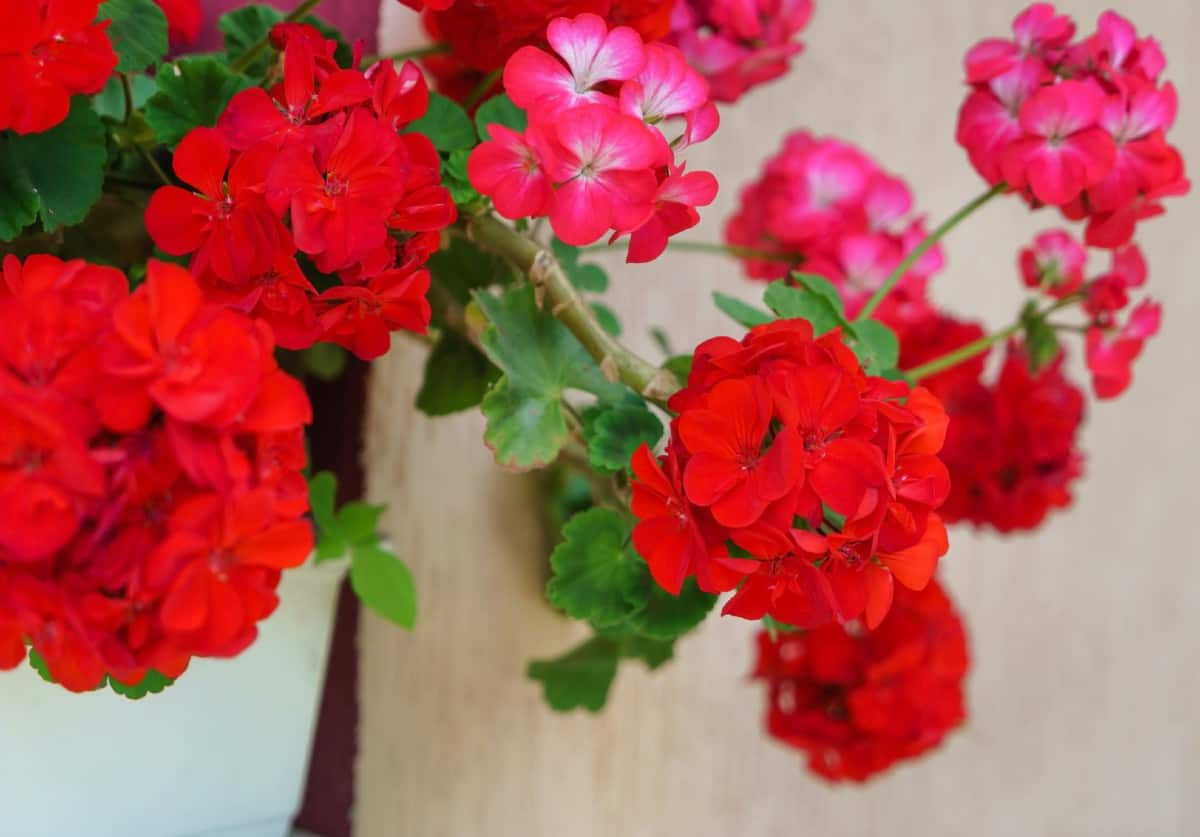 geraniums provide year-long beauty in hanging baskets
