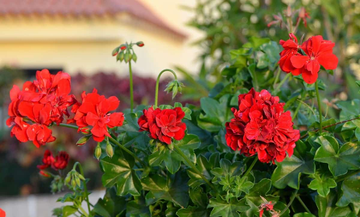 geraniums have been around for more than 100 years