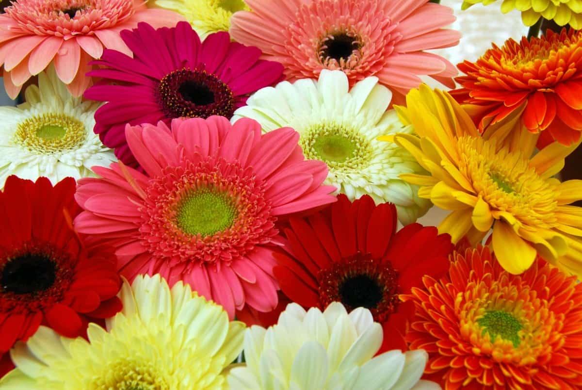 Gerbera daisies brighten any room