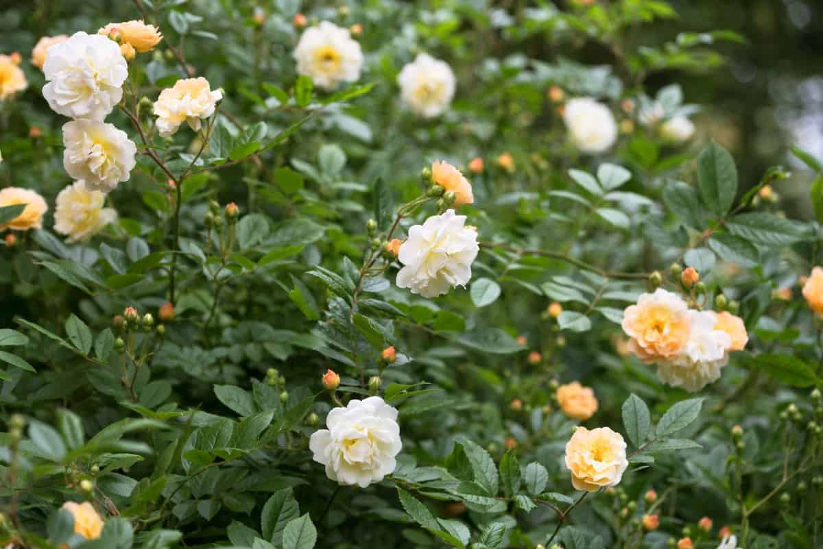 if you want an almost-thornless rose, plant the Ghislaine de Feligonde
