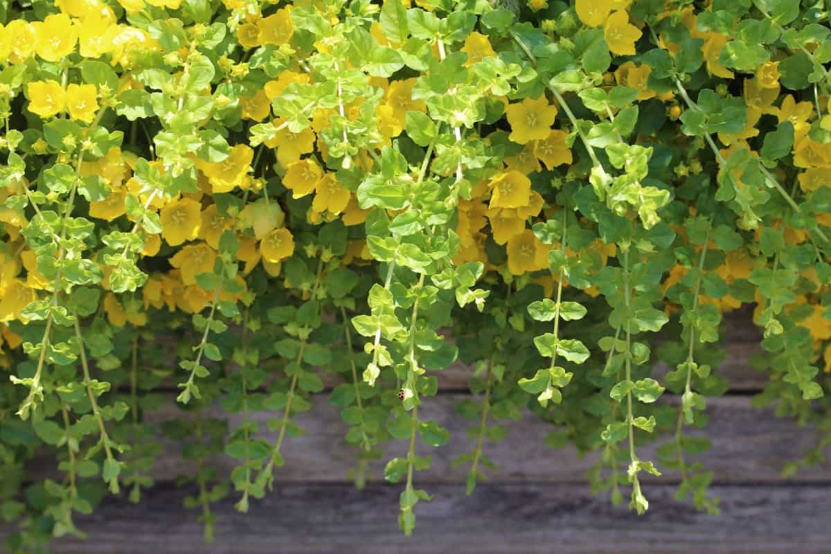 golden creeping Jenny is perfect for a hanging basket