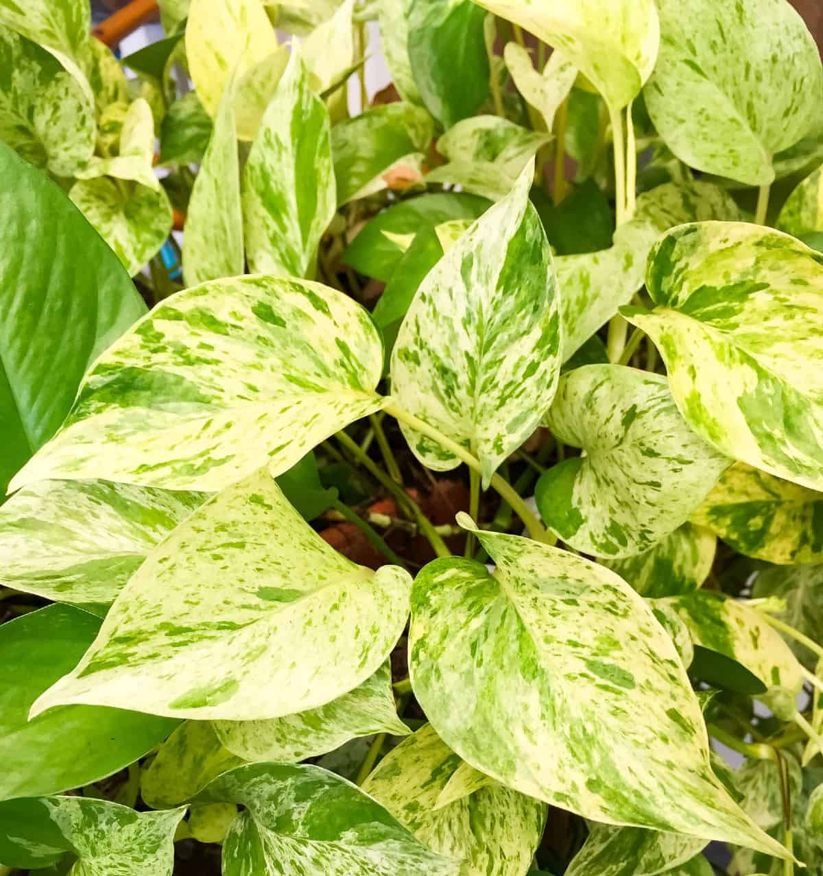 golden pothos is easy to grow and has minimal upkeep