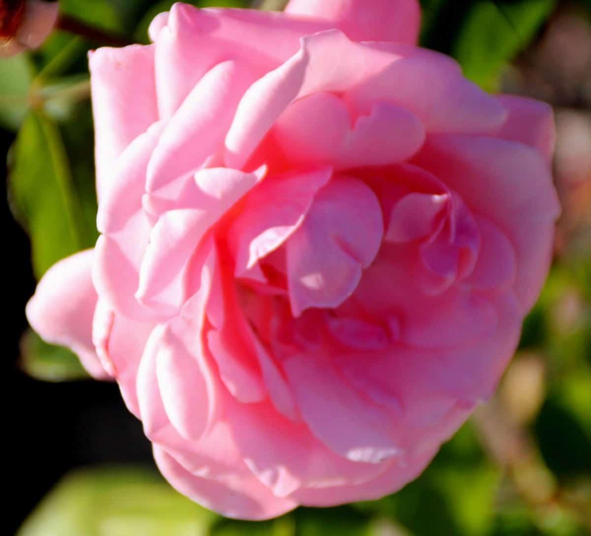grandiflora rose bushes have multiple blooms on each stem