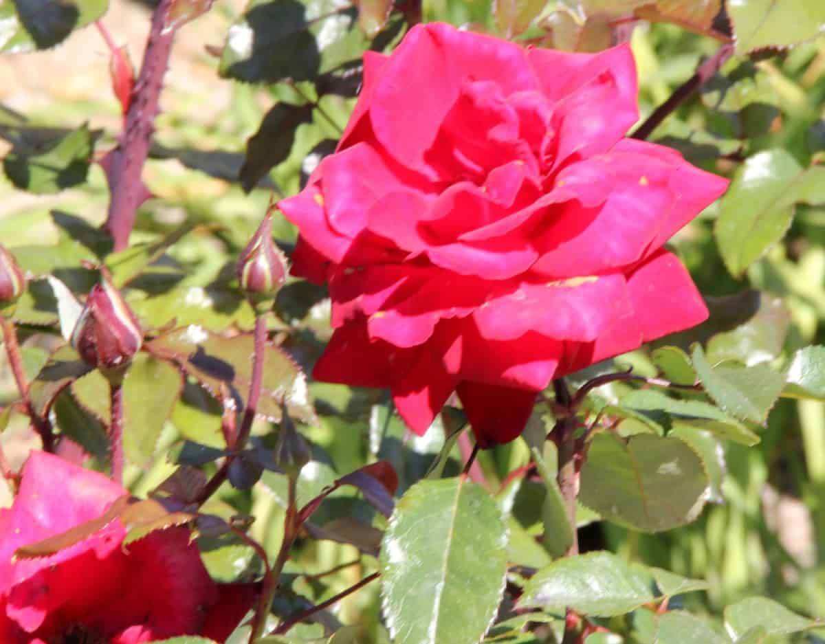 the grandiflora rose is tall and easy to grow