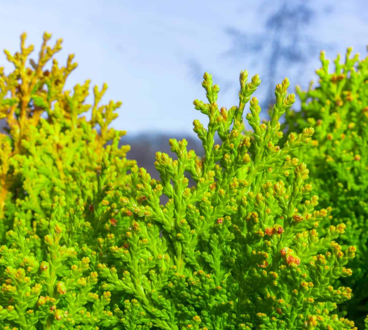 green giant arborvitae is a great privacy shrub