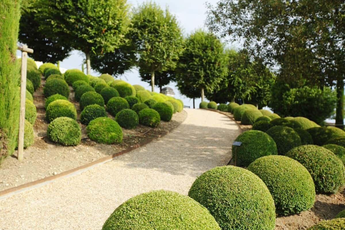 green mountain boxwood does well in a container or the landscape