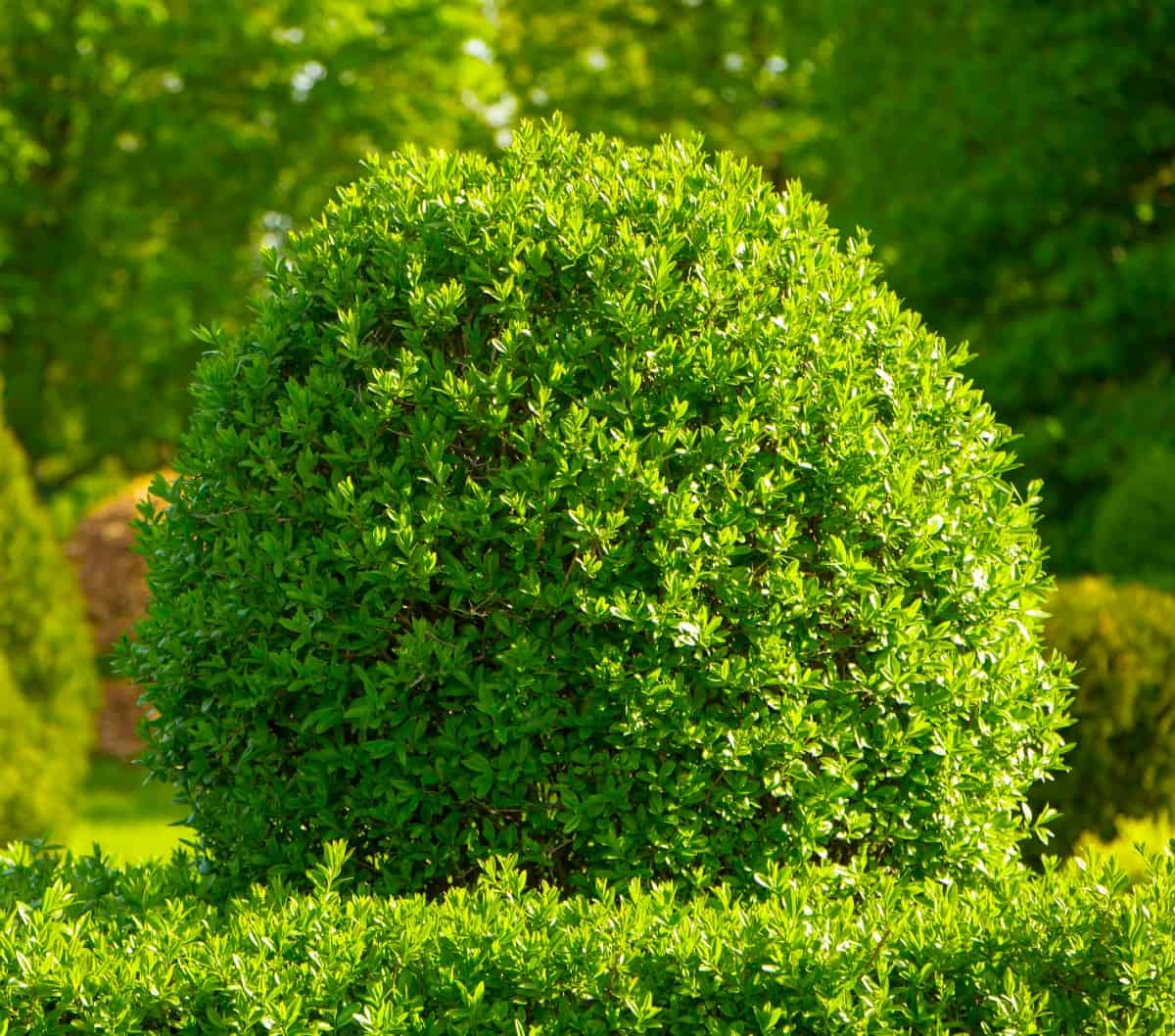 highlander boxwood comes in many shapes and sizes