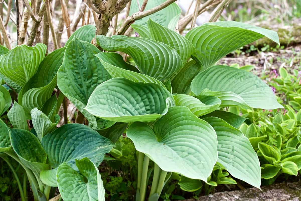 hosta is also called the plantain lily