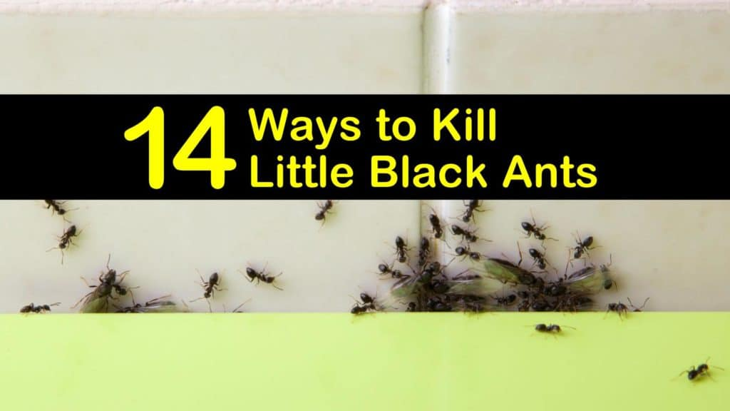 How to Get Rid of Black Ants in the House titleimg1
