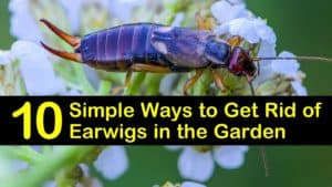 How to Get Rid of Earwigs in the Garden titleimg1