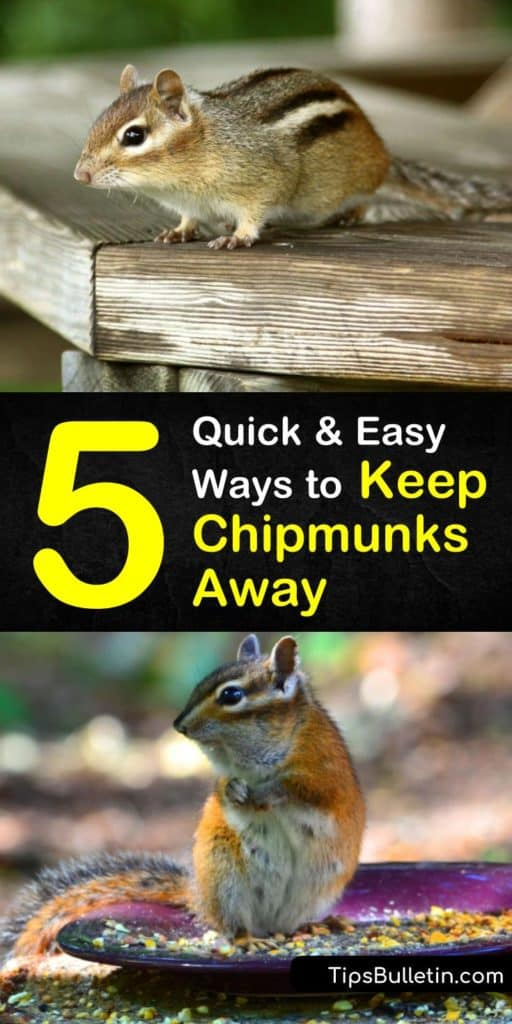 Discover how to keep chipmunks away with our informative guide. We show you how to use DIY chipmunk repellent, live traps, and more to resolve your chipmunk problem. Our article is perfect if you have an infestation and want to end the burrowing. #keepchipmunksaway #chipmunk #control