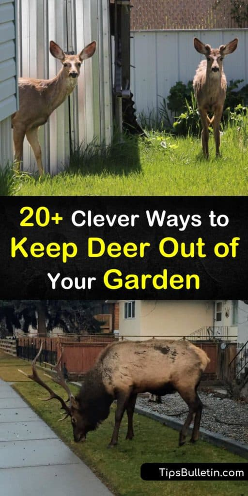 Discover the best solutions for how to keep deer out of your garden using a variety of methods. Try deer-resistant plants that turn deer away due to taste, smell, or touch. Find out how to install fishing line barriers and how sprinklers act as a deer repellent. #keep #deer #out #garden #pests