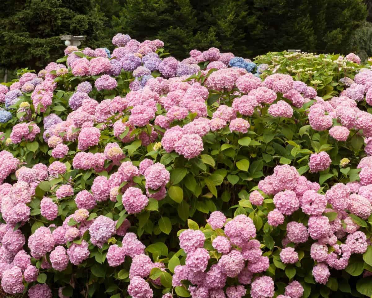 hydrangea is a stunning low-maintenance bush