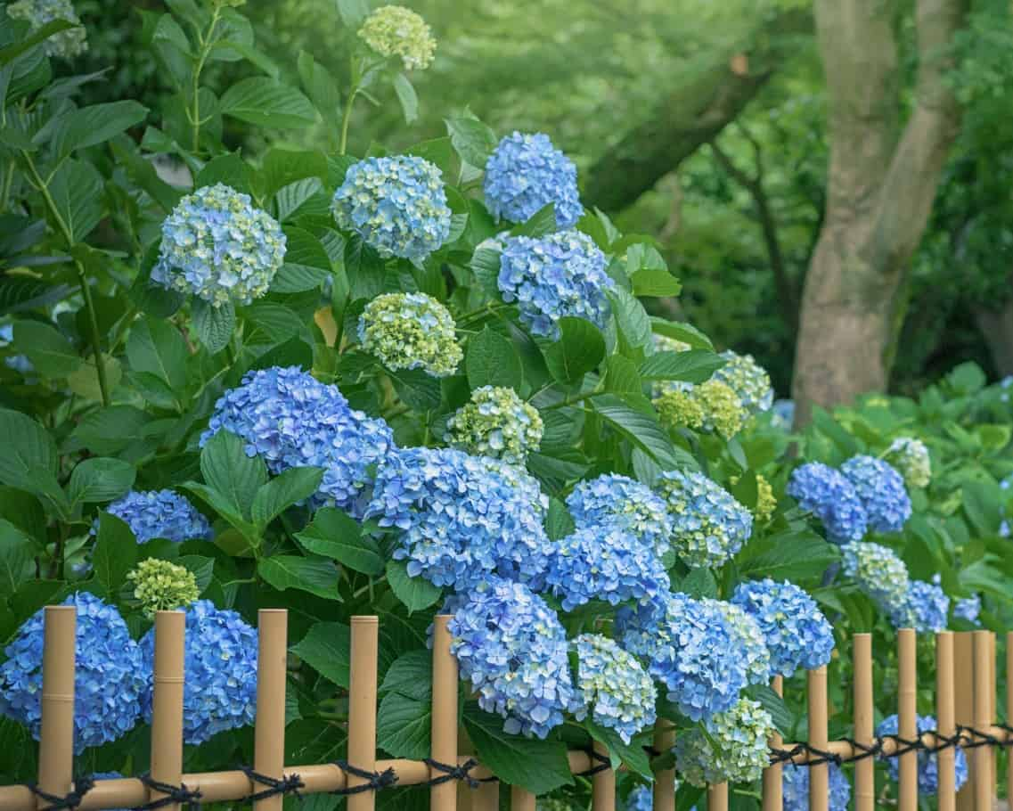 hydrangeas are evergreen shrubs that thrive in a variety of soil conditions
