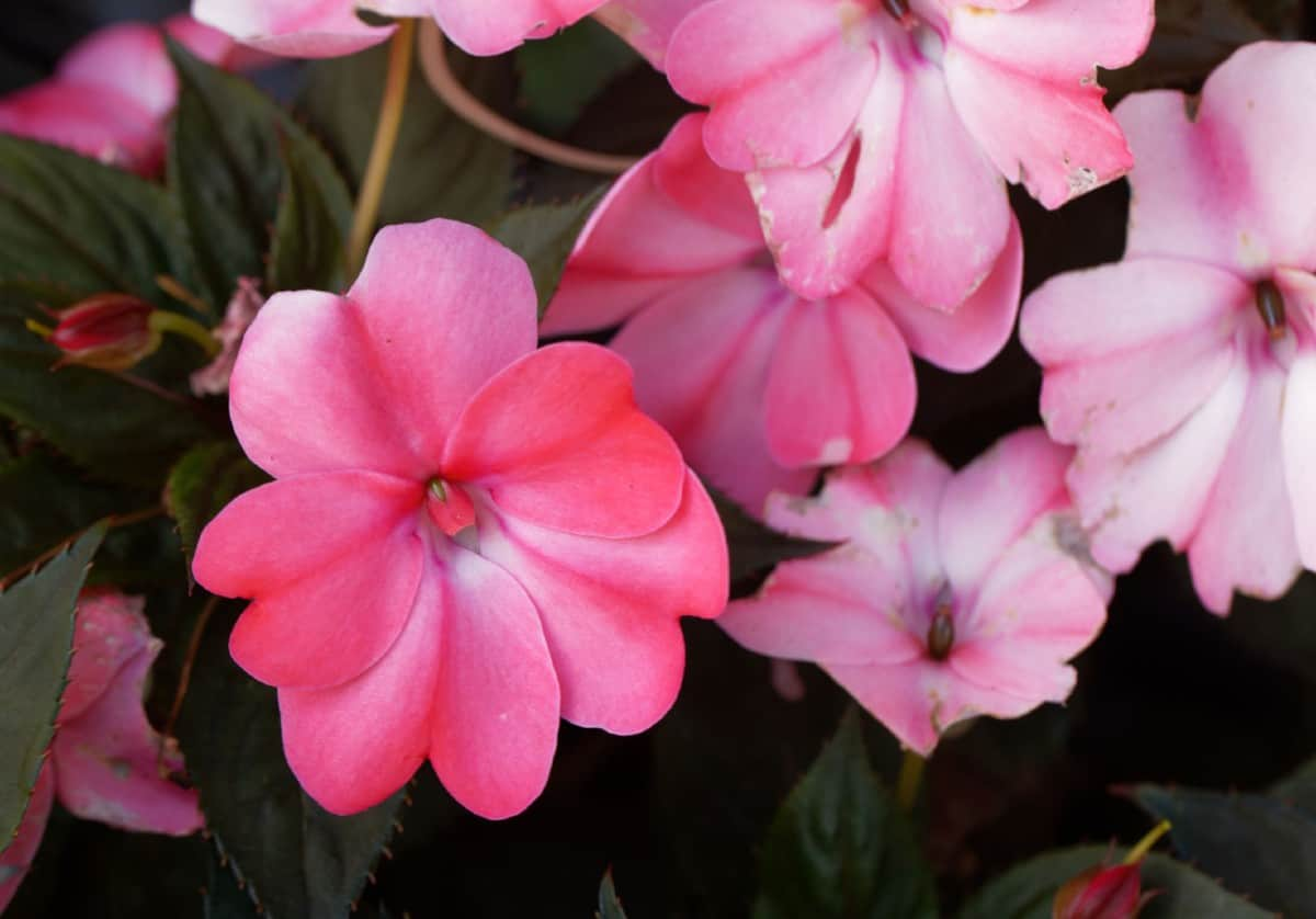impatiens is the perfect plant for a hanging basket