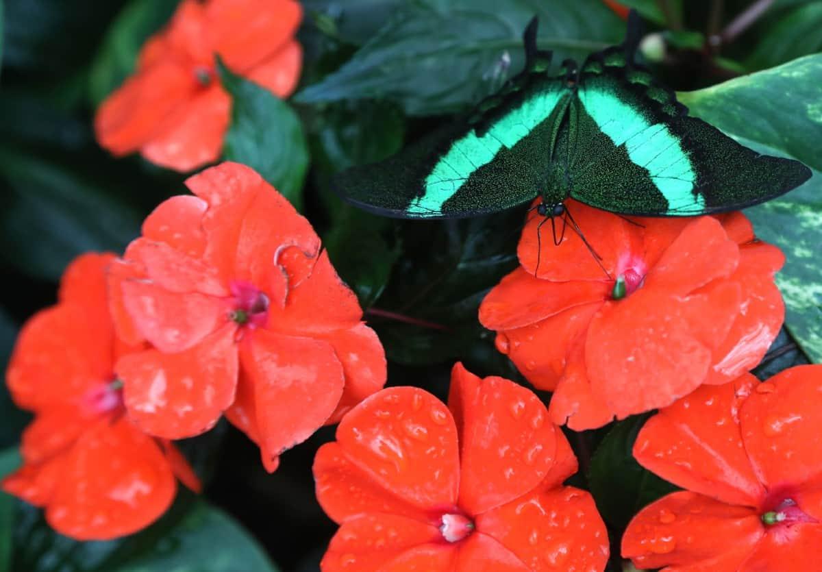 impatiens plants attract hummingbirds and butterflies
