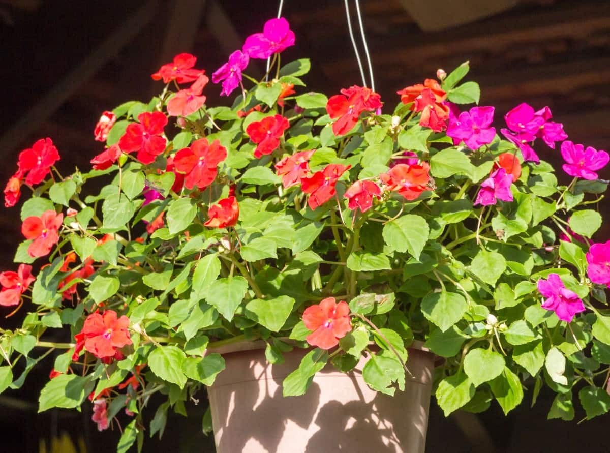 hang impatiens outside in the shade for the best blooms