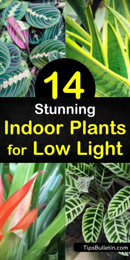 Discover which types of houseplants grow best in low-lighting. Place plants such as ivy, pothos, spider plant, and philodendron in north-facing windows. Keep low light houseplants out of direct sunlight to ensure they thrive. #lowlighthouseplants #lowlightindoorplants #lowlightplants