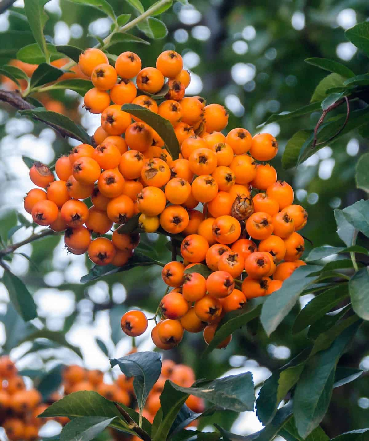 inkberry holly is a slow-growing evergreen
