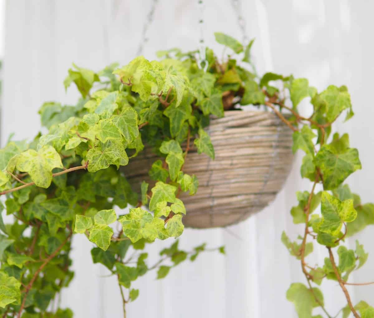 ivy is a great choice for an outdoor hanging plant