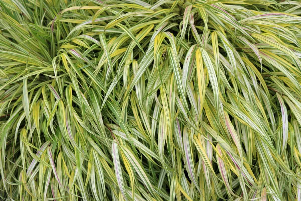 Japanese forest grass is one of the best shade plants