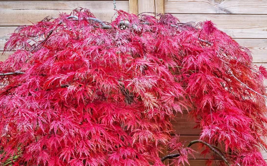the Japanese maple has striking foliage