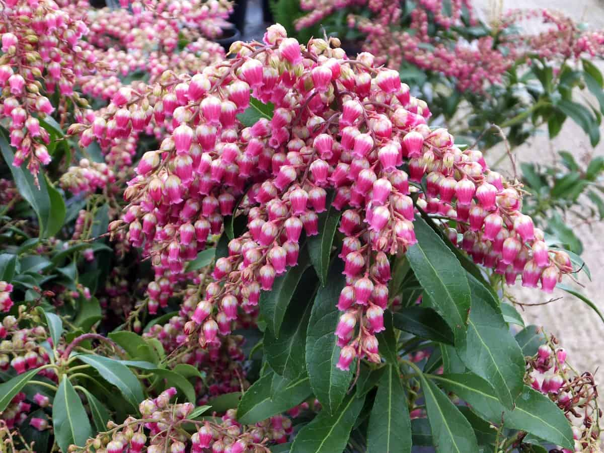 the Japanese pieris has gorgeous bell-shaped flowers