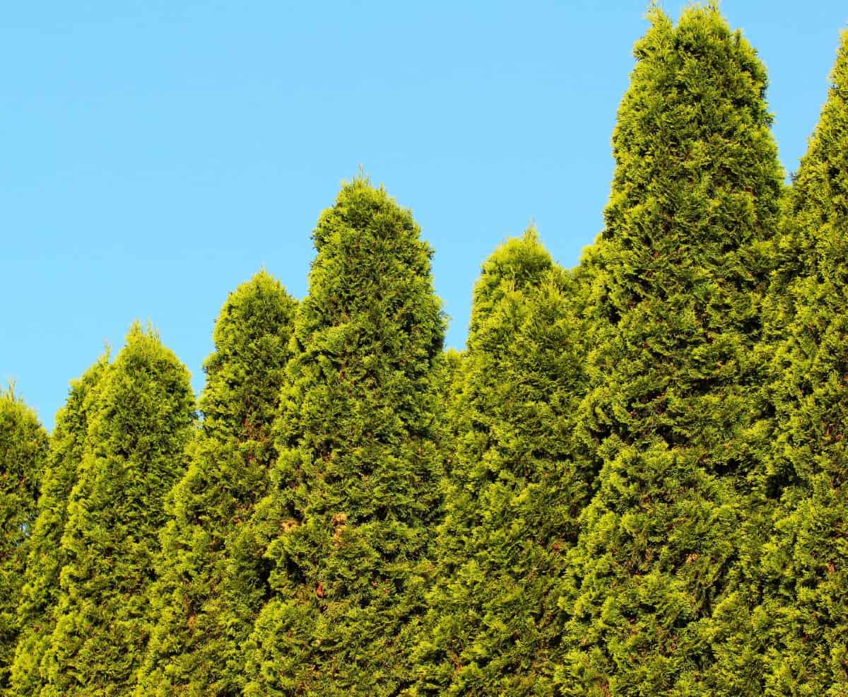 junipers grow up to eighteen inches a year