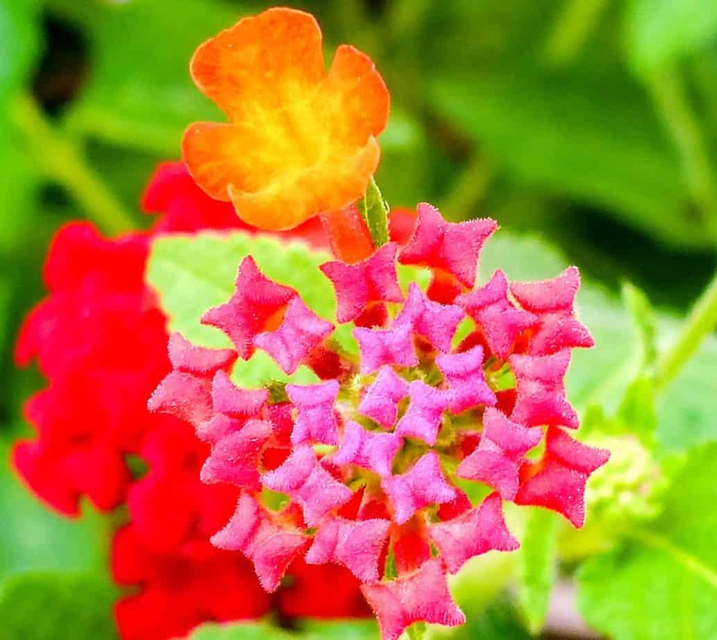 hummingbirds love lantana blooms