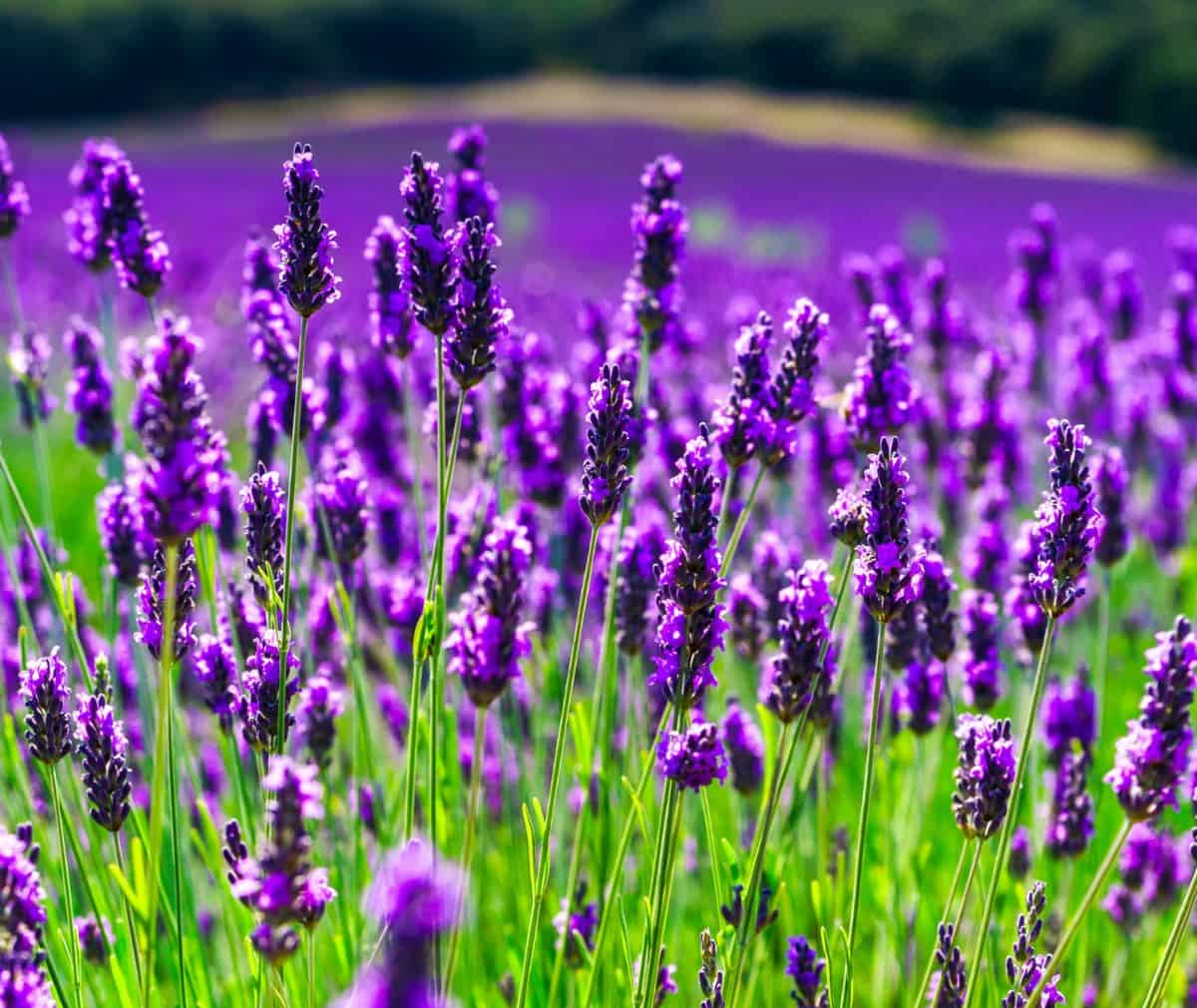 lavender is one of a gardener's favorite plants
